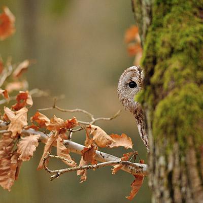 Eule hinter einem Baum